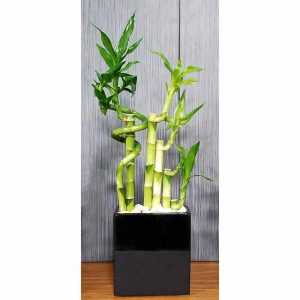 Black Two-Tone Large Spiral Lucky Bamboo