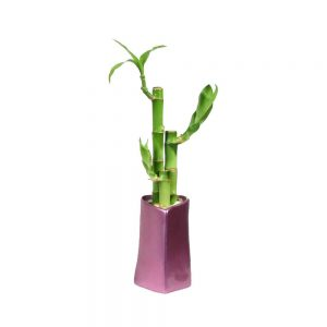 Heart Shaped Vase Lucky Bamboo