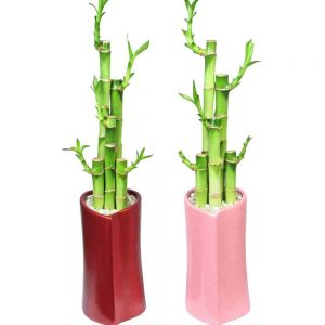 "Heart Shaped Vase 6"" Lucky Bamboo"