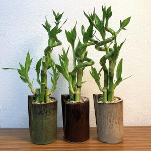 Folded Vase Tall Spiral Lucky Bamboo