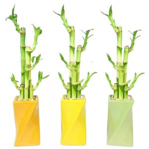 Twisted Vase Lucky Bamboo