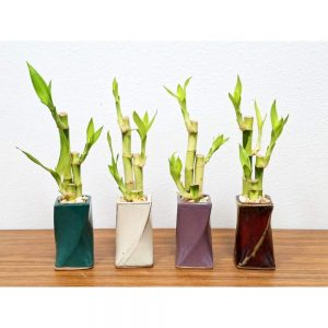 Twisted Vase Small Lucky Bamboo