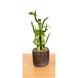 Natural Cement Planter Lucky Bamboo
