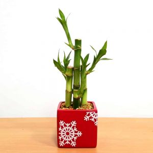"""Holiday Square Vase 3"""" Lucky Bamboo"""