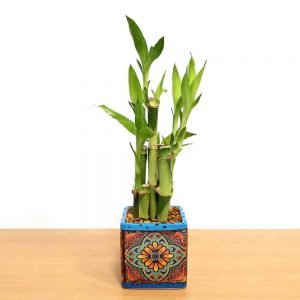 Tuscany Square Lucky Bamboo