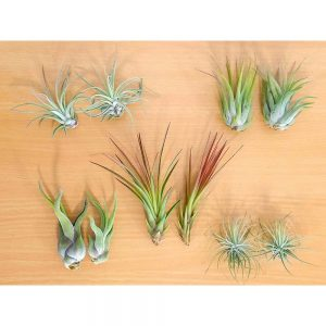 Loose Air Plants