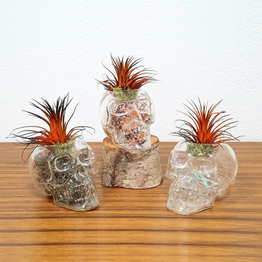Clear Skull Air Plants