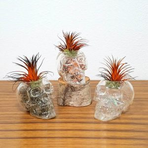 Clear Skull Air Plants
