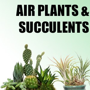 Wholesale Air Plants & Succulents