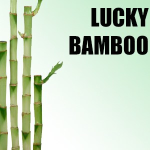Wholesale Lucky Bamboo